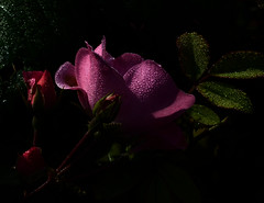 Rose8 (lotharmeyer) Tags: rose nature blumen makro tau water red flower lotharmeyer nikon pflanze flowers licht reflextion