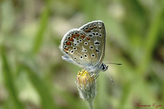 Argus bleu (Ezzo33) Tags: bleu azuré commun polyommatus icarus argus france gironde nouvelleaquitaine bordeaux ezzo33 nammour ezzat sony rx10m3 parc jardin papillon papillons butterfly butterflies specanimal