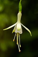 Fuscia (ianbartlett) Tags: outdoor flowers buds bees spiders light colour macro monochrome