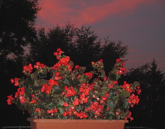 Begoniette all'alba (Eli.b.) Tags: fiori flowers fleurs alba sunrise estate summer colori rosso cielo ciel nuvole sky clouds alberi red begonie