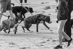 Untitled (Robert Borden) Tags: dogs dog leash eager bw monochrome blackandwhite blancoynegro ventura venturabeach cali california ca socal coast canon canonrebel canonphotography sand