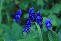 casque de Jupier (bulbocode909) Tags: valais suisse fleurs montagnes nature siviez bleu vert casquesdejupiter feuilles
