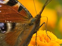 Tagpfauenauge (lebastian) Tags: panasonic dmcgx8 lumix g vario 45150f4056 tagpfauenauge butterfly insekt schmetterling raynox dcr250