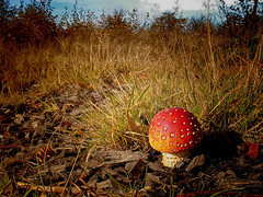 """Cannock Chase Fungi (Petefromstaffs) Tags: macro mushrooms cannockchase texture tranquility toned toadstool """"fly agaric"""""""