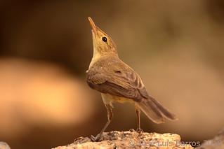 Felosa-poliglota | Hippolais polyglotta | Melodious warbler