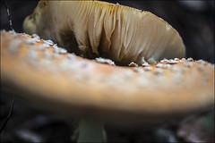 20180910. Amanita muscaria. 1906. (Tiina Gill (busy)) Tags: estonia nature outdoor mushroom fungus summer fall autumn amanitamuscaria toadstool