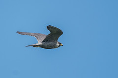 Peregrine Falcon (Tim Melling) Tags: peregrine falcon falco peregrinus peak district yorkshire timmelling