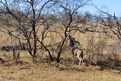 DSC_6206 (Бенуа Брэгонов) Tags: afriquedusud africa travel voyage safari krugernationalpark southafrica landscape brousse bush mpumalanga antilope antelope