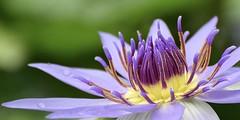 Water Lily #3 (MJ Harbey) Tags: flower bright plant garden kewgardens london royalbotanicgardenskew unescoworldheritagesite waterlily lily purplewaterlily nymphaea nymphaeaceae nymphaeacolorata lilyhouse lilyhousekew nikon d3300 nikond3300 macro