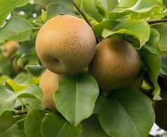 Pyrus pyrifolia Raja Aug 2018 (Puddin Tain) Tags: asianpear pyruspyrifolia fruit macro plant tree virginiabeach