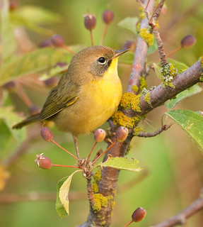 Common yellowthroat warbler, juvenile