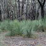 Grasstrees thumbnail