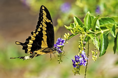 Swallowtail Butterfly (noblesgeorge1) Tags: