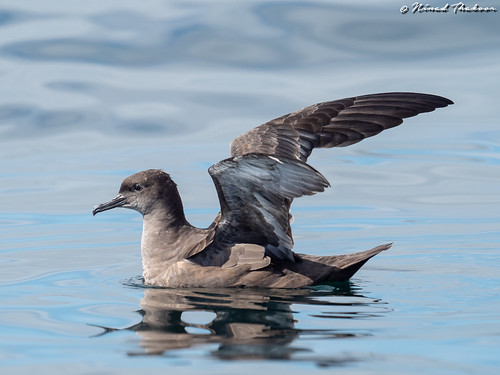 """Sooty Shearwater (Lifer) • <a style=""""font-size:0.8em;"""" href=""""http://www.flickr.com/photos/59465790@N04/42532717670/"""" target=""""_blank"""">View on Flickr</a>"""