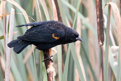 Red-winged Blackbird II (dennis_plank_nature_photography) Tags: avianphotography redwingedblackbird ridgefieldnwr birdphotography naturephotography ridgefield wa avian birds nature