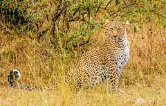Bahati, daughter in a famous Leopard lineage in the Maasai Mara, Kenya (frankmetcalf) Tags: pantherapardus leopard maasaimara cat feline savannah eastafrica shrubs bushes forest den kenya bahati