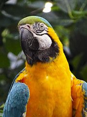 Nature Painting (brucecarlson66) Tags: blue gold macaw victoria british columbia canada butterfly gardens sanctuary yellow black green parrot tropical forest bird scream loud noise feather beak eye nostrils holland america inner inside passage cruise vacation tourist tourism colorful color glow wonderful paint painting nature