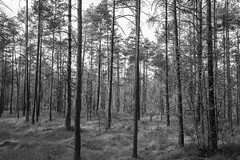 Straight forest (maca59) Tags: forest wood tree bnw bw nature sweden