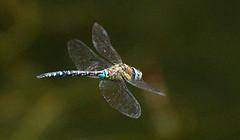 Libellule (palachin) Tags: nature libellule eos7d canon campagne faune insecte