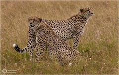 CHEETAH BROTHERS (d1ngy_skipper) Tags: bigcats cheetah africa kenya masaimara malaika marariver talek