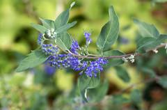 Bartblume / bluebeard (Caryopteris x clandaensis) (HEN-Magonza) Tags: botanischergartenmainz mainzbotanicalgardens rheinlandpfalz rhinelandpalatinate deutschland germany flora bartblume bluebeard caryopterisxclandaensis