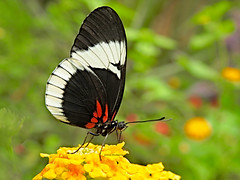 Heliconius eleuchia (josuneetxebarriaesparta) Tags: tximeleta pinpilinpausa mariposa butterfly heliconius farfalla papillon bolboreta papallona
