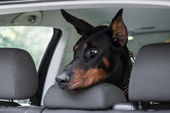 Trunk check (zola.kovacsh) Tags: outdoor animal pet dog show exhibition dobermann doberman pinscher car portrait