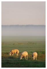 Good morning, sheep (Rob Schop) Tags: ochtend zonsopkomst sheep tele sonya6000 mist grootammers nederland fog a6000 goldenhour 55210mmoss field