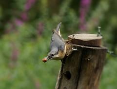Nuthatch fly bye (afleet881) Tags: nuthatch birds feeding flying nature watch sony a57 bird nut hatch trees grey yellow peanut