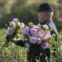 L'expert (Titole) Tags: worker dahlias titole flowers hat nicolefaton field squareformat