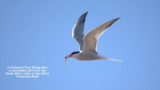 094-074-common tern