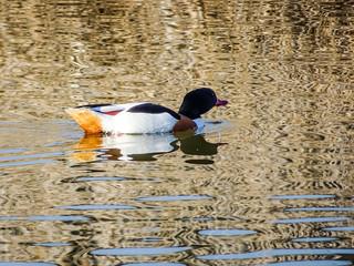 Pato cuchara aves Parque Nacional de las Tablas de Daimiel Ciudad Real