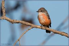 Vermilion Flycatcher 8776 (maguire33@verizon.net) Tags: pradoregionalpark pyrocephalusrubinus vermilionflycatcher bird male wildlife