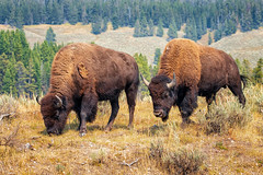 May I Introduce Myself (KPortin) Tags: bison yellowstonenationalpark cow bull lamarvalley grass sagebrush landscape