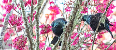 Tūī 49 (Black Stallion Photography) Tags: tūī bird wildlife newzealand nzbirds pink flowers blossom spring nectar purple blue green feathers yellow pollen beak black stallion photography igallopfree
