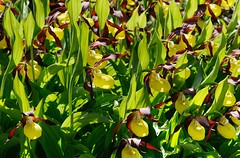 20180526-006F (m-klueber.de) Tags: 20180526006f 20180526 2018 mkbildkatalog skandinavischeflora flora nordeuropa nordisch pflanzenwelt pflanze europäische skandinavische skandinavien scandinavia schweden sweden sverige mitteleuropäische orchidee orchidaceae cypcalc cypripedium calceolus gelber frauenschuh östersund jämtland