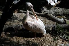 Junger Pelikan (mux68-uh) Tags: zoo tierpark hellabrunn tierparkhellabrunn münchen munich pelikan