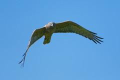 Australasian Harrier (Kite) (DanD_NZ) Tags: harrier bif birds hamilton newzealand nikond500 nikkor200500mmf56