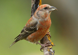 CROSSBILL ...male...One from the past...I will be off line for a while so I will be unable to comment on your Images...Hope to be back soon.