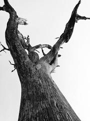 Tree (CEL. 09) (Jorge Belim) Tags: pb árvore flora celular
