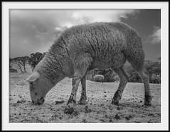 a sheep called spot (Andrew C Wallace) Tags: spot sheep infrared microfourthirds m43 thephotontrap olympusomdem5 churchillisland phillipisland victoria australia