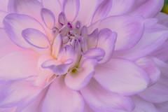 Inner Dahlia (LHDPhotos) Tags: longwoodgardens dahlia flower gardenplant lilac