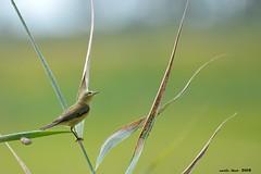 (Enllasez - Enric LLaó) Tags: aves aus bird birds ocells pájaros 2018 deltadelebre deltadelebro delta rietvell
