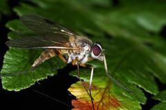 Rhagio lineola femelle (chug14) Tags: macro insecte unlimitedphotos animalia arthropoda hexapoda insecta diptera brachycera rhagionidae rhagiolineola