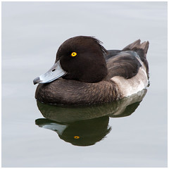 Tufted Duck (tina777) Tags: tufted duck bird waterbird waterfowl fowl beak feathers water lake pond reflection cosmeston lakes vale glamorgan wales photoshop elements