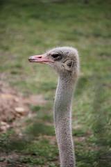 Autruche (wannaell) Tags: autruche wild animal animals zoo amnéville