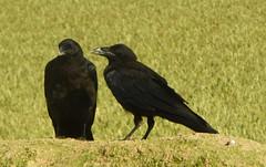The Offer (offroadsound) Tags: raven corvos cuervos raben pair paar offer ofrecer angebot conversation