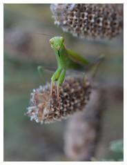 Charmante... (isabelle.bienfait) Tags: vert green regard isabellebienfait mantereligieuse mantisreligiosa mantoptere insecte nikond5100 sigma105 proxi