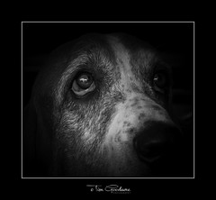 Resistance is futile (timgoodacre) Tags: bloodhound hound dog dogs doggy animal domesticanimal pet domestic canine portrait