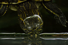 hello twin.. (MKuprych) Tags: turtle papiliorama